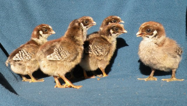 You can see how the baby chicks look like young pheasants.