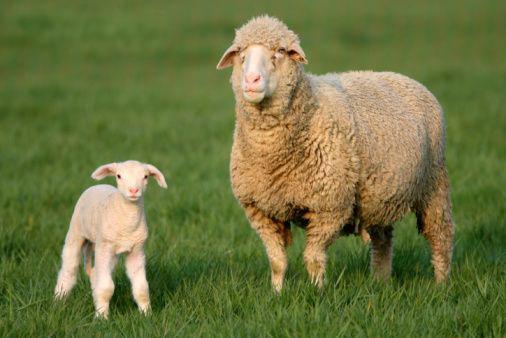 Merino Ewe and Lamb
